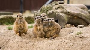 meerkat-164921_1280